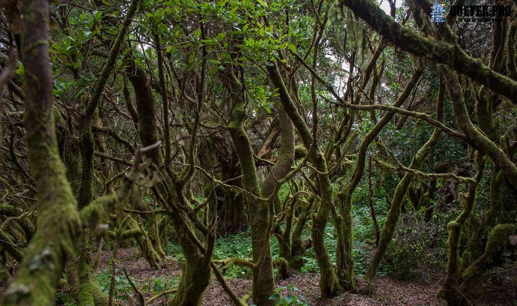 Bosque de la Llanía El Hierro