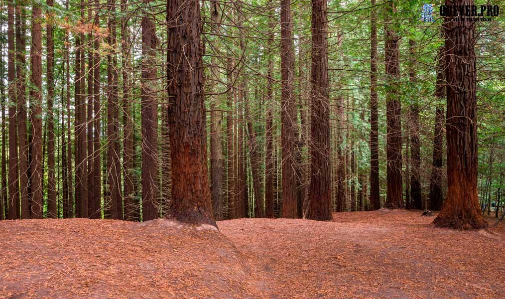 Bosques de Secuoyas de Cabezón Cantabria