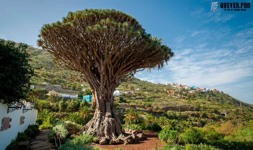 Drago de Icod de los Vinos Tenerife